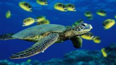 Sea Turtle Wallpaper 4523
