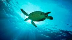 Sea Turtle Wallpaper 4525