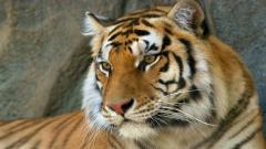 Tiger 15551