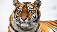 Tiger 15552