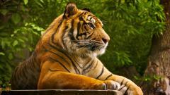 Tiger 15553