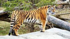 Tiger 15554