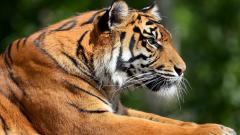 Tiger 15555