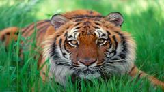 Tiger 15556