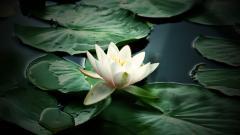 Water Flower 37541