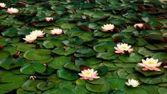 Water Flowers 37546