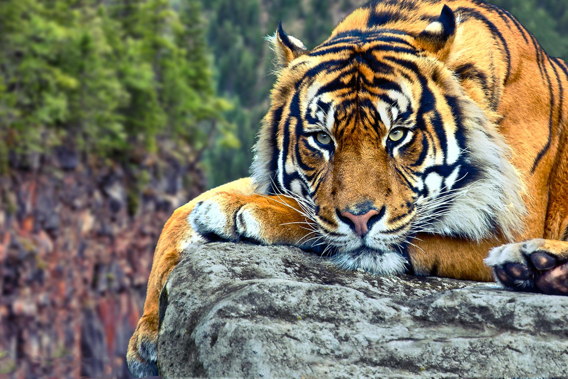 tiger wallpaper hd 40407 1920x1280px