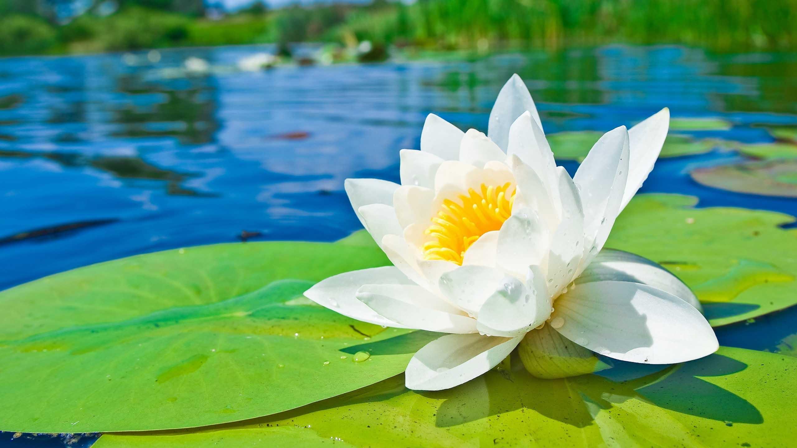 Water Flower Background 37533