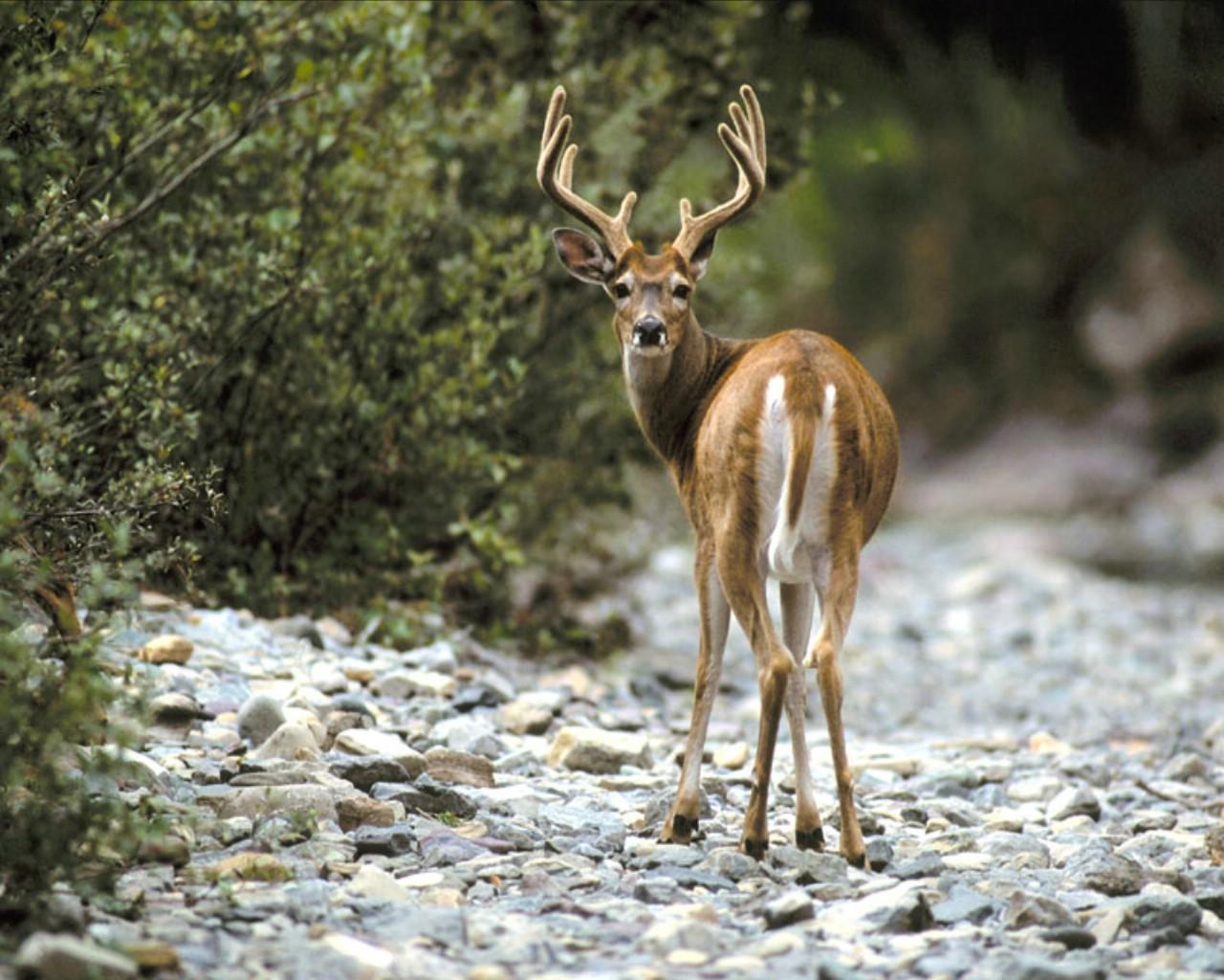 whitetail deer wallpaper 16672 1280x1024 px