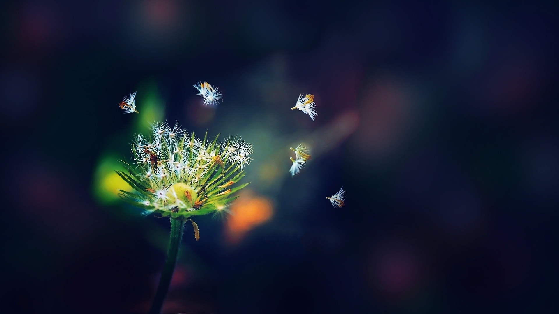 amazing dandelion seeds wallpaper 42636