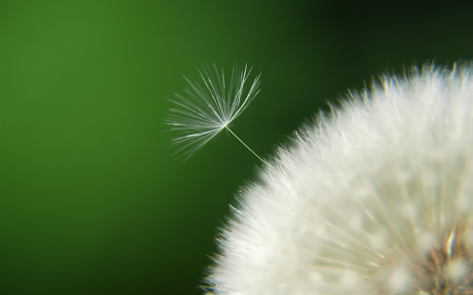 awesome dandelion seeds wallpaper 42641
