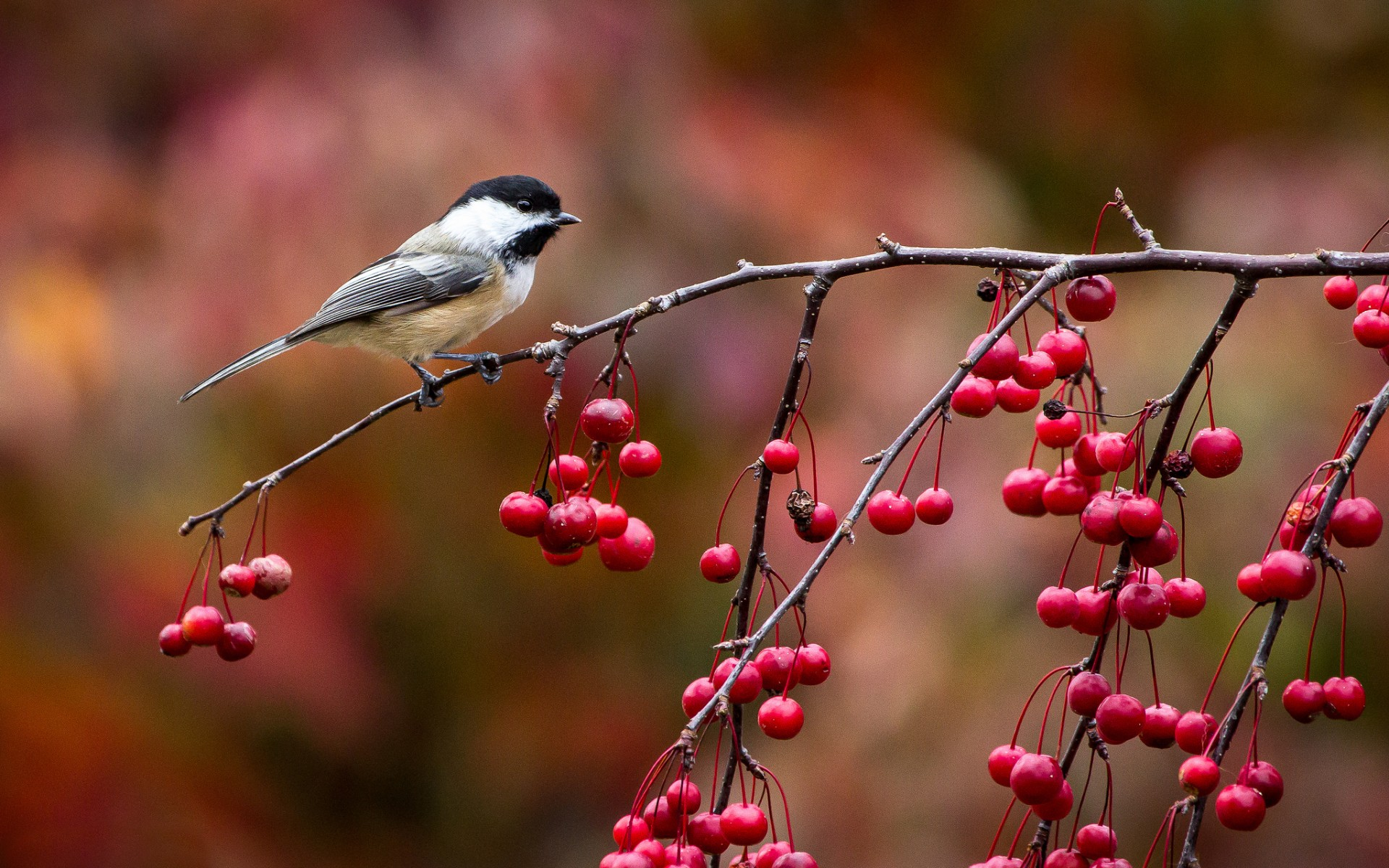 beautiful chickadee wallpaper 40075