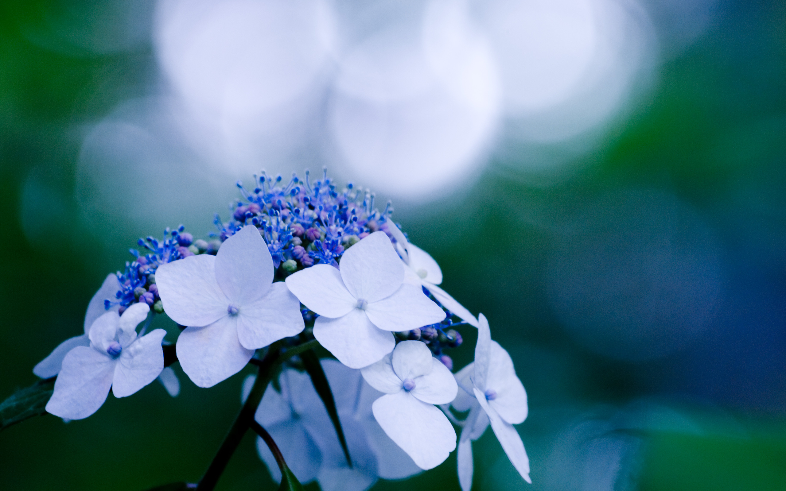beautiful hydrangea flowers 25715