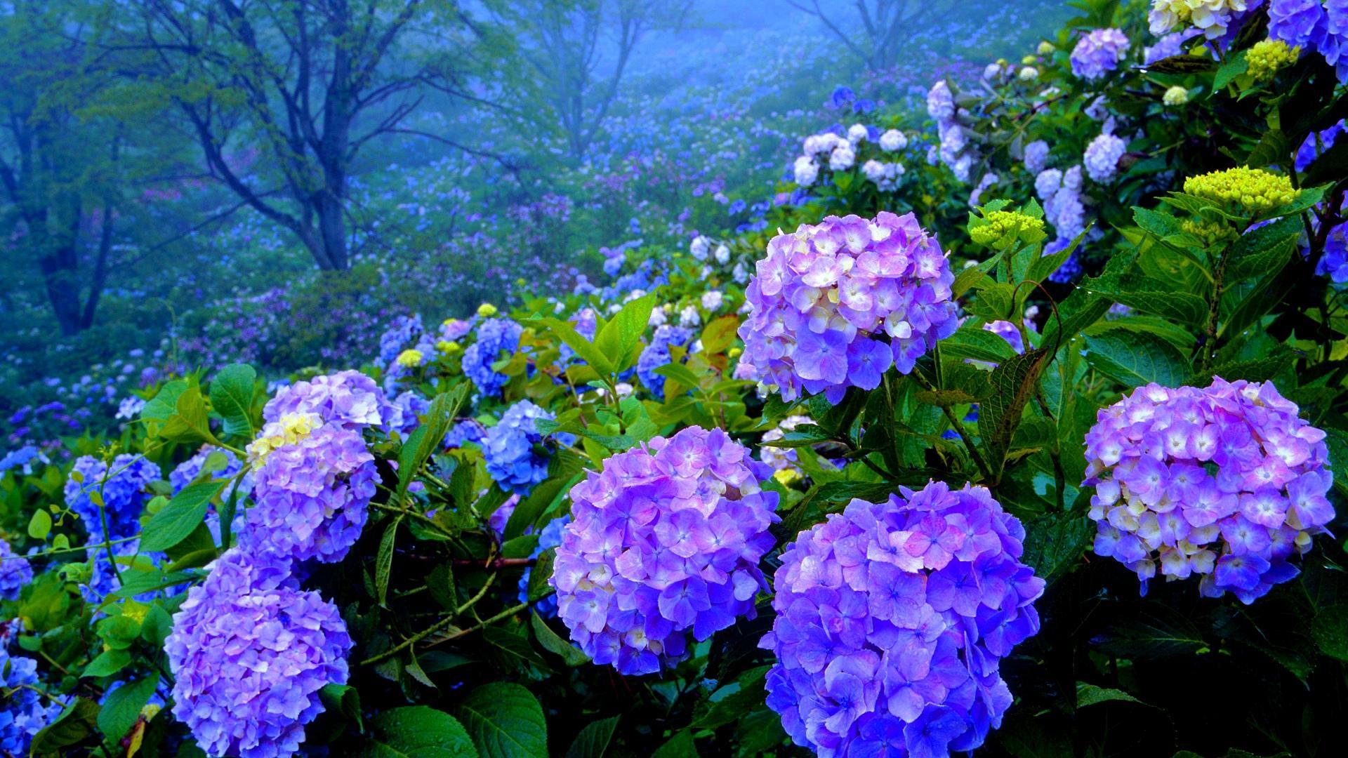 beautiful hydrangea wallpaper 25705
