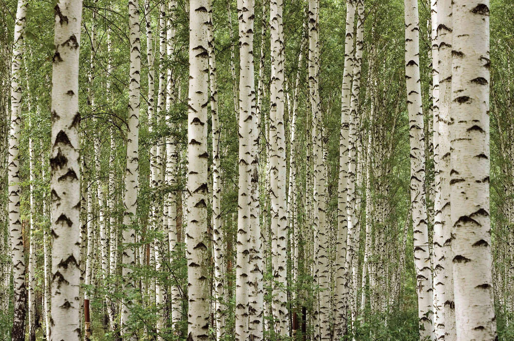 birch tree 25334