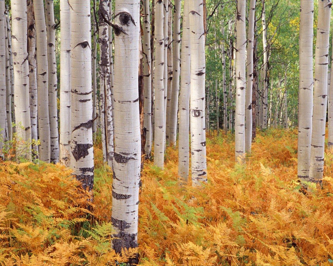 Birch Tree Wallpaper 25326 1280x1024 Px
