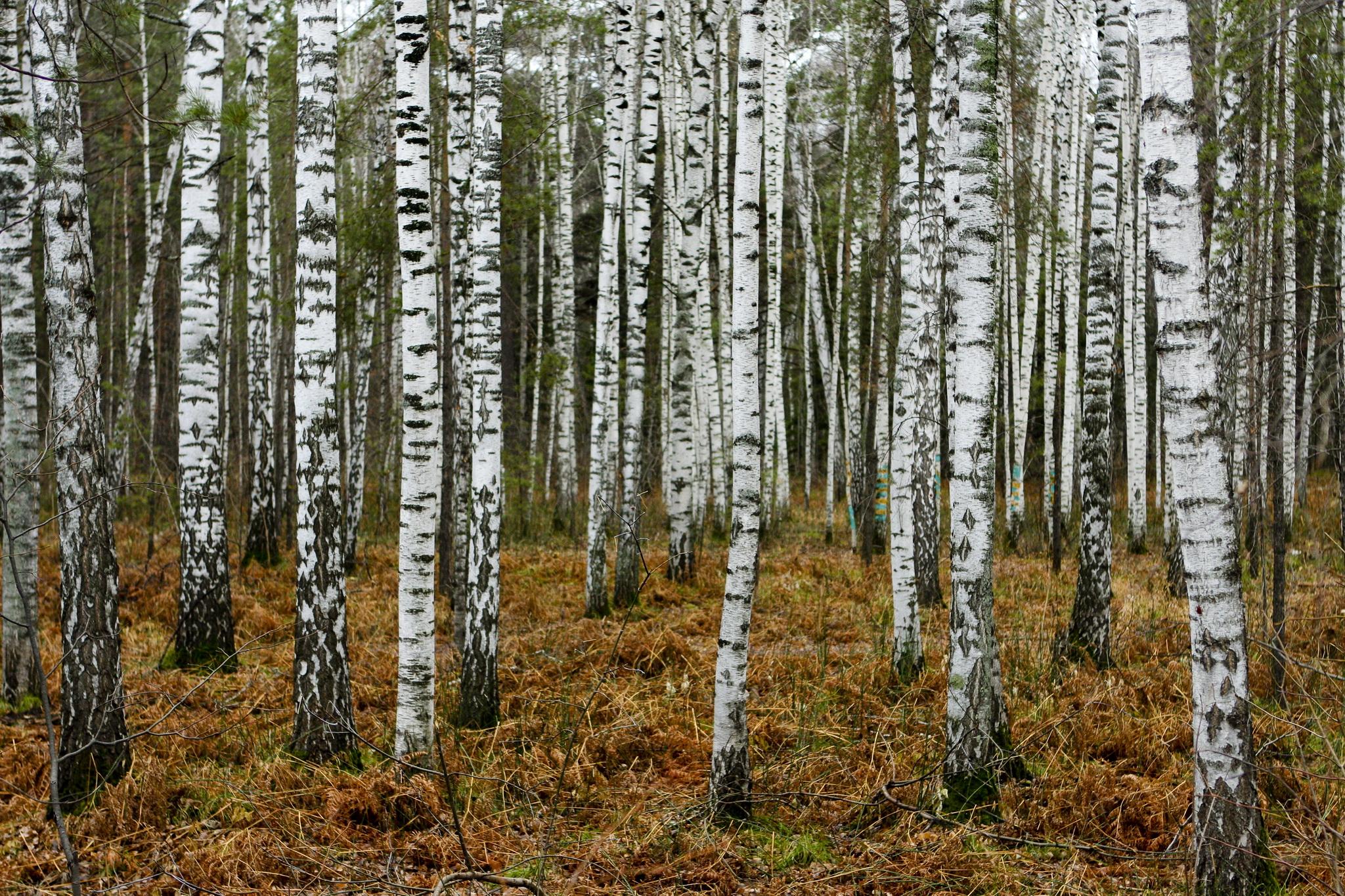 Birch Tree Wallpaper 25332 2048x1365 Px