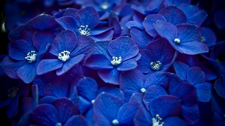 blue hydrangea wallpaper 25701