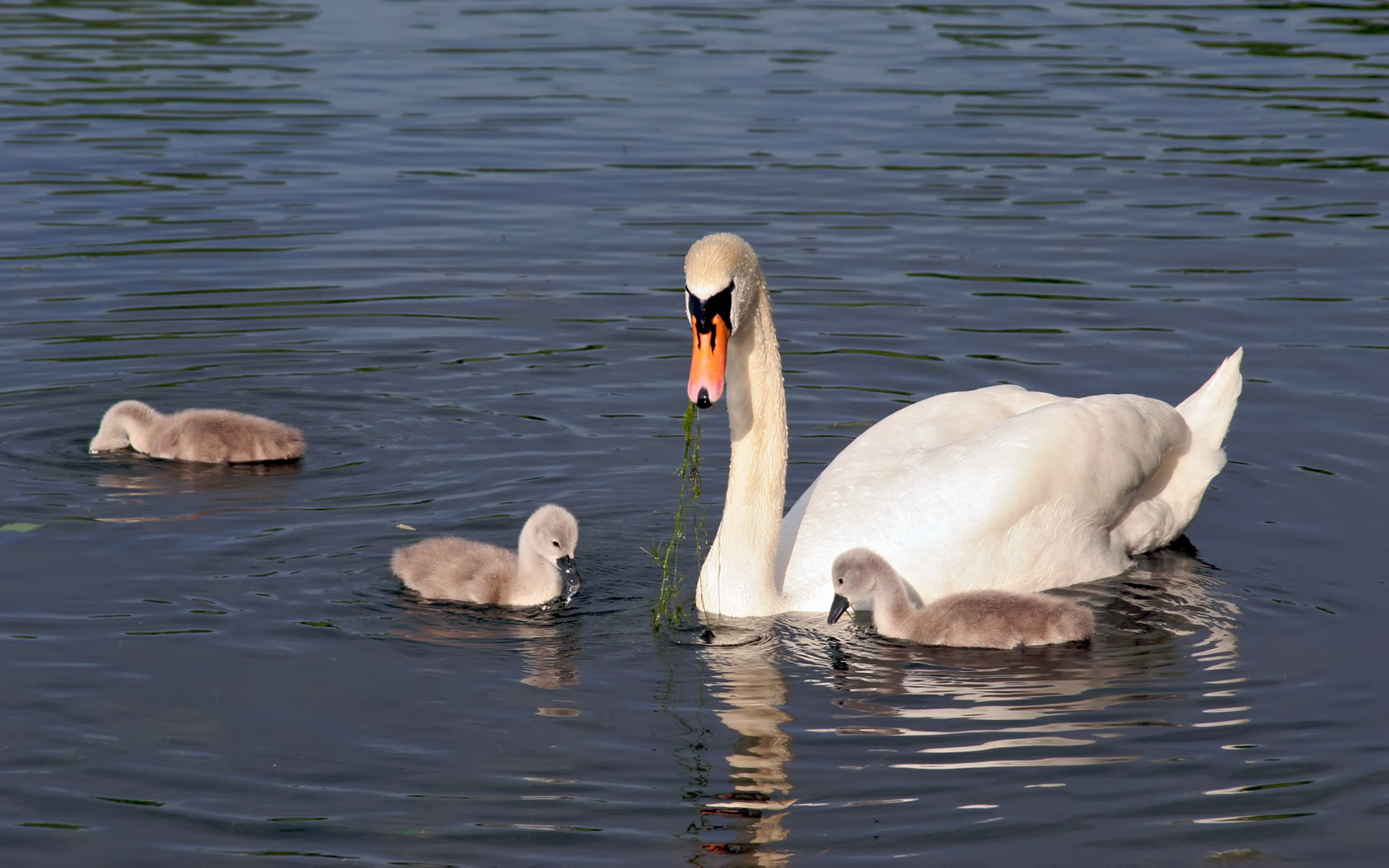 cute swan pictures 28075