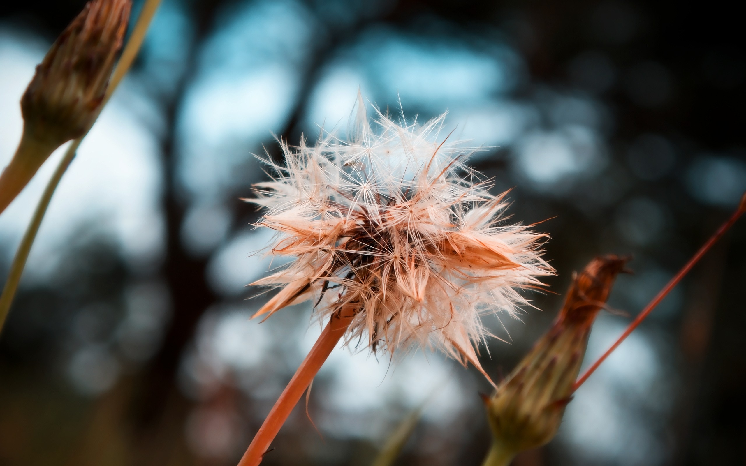 dandelion seeds background 42639