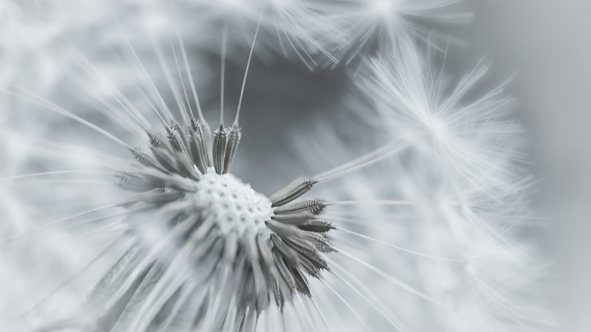 dandelion seeds wallpaper 42633