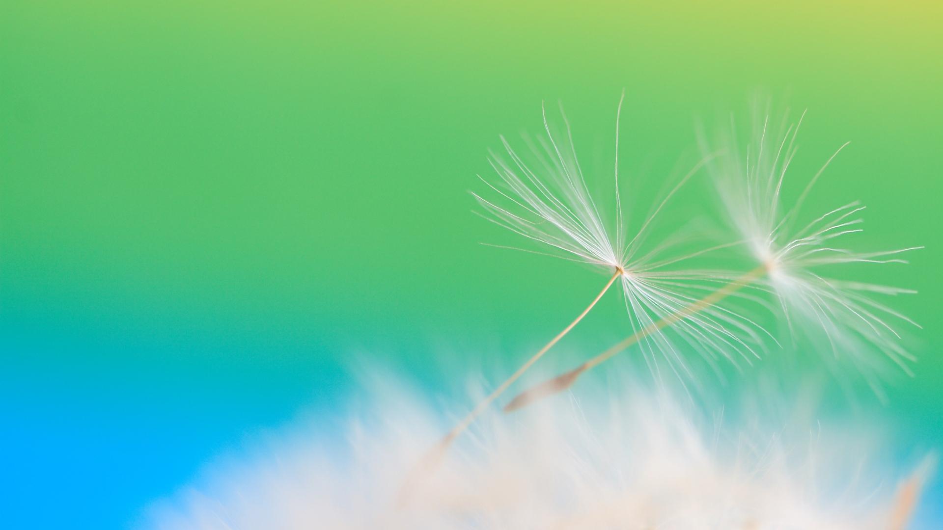 dandelion seeds wallpaper 42634