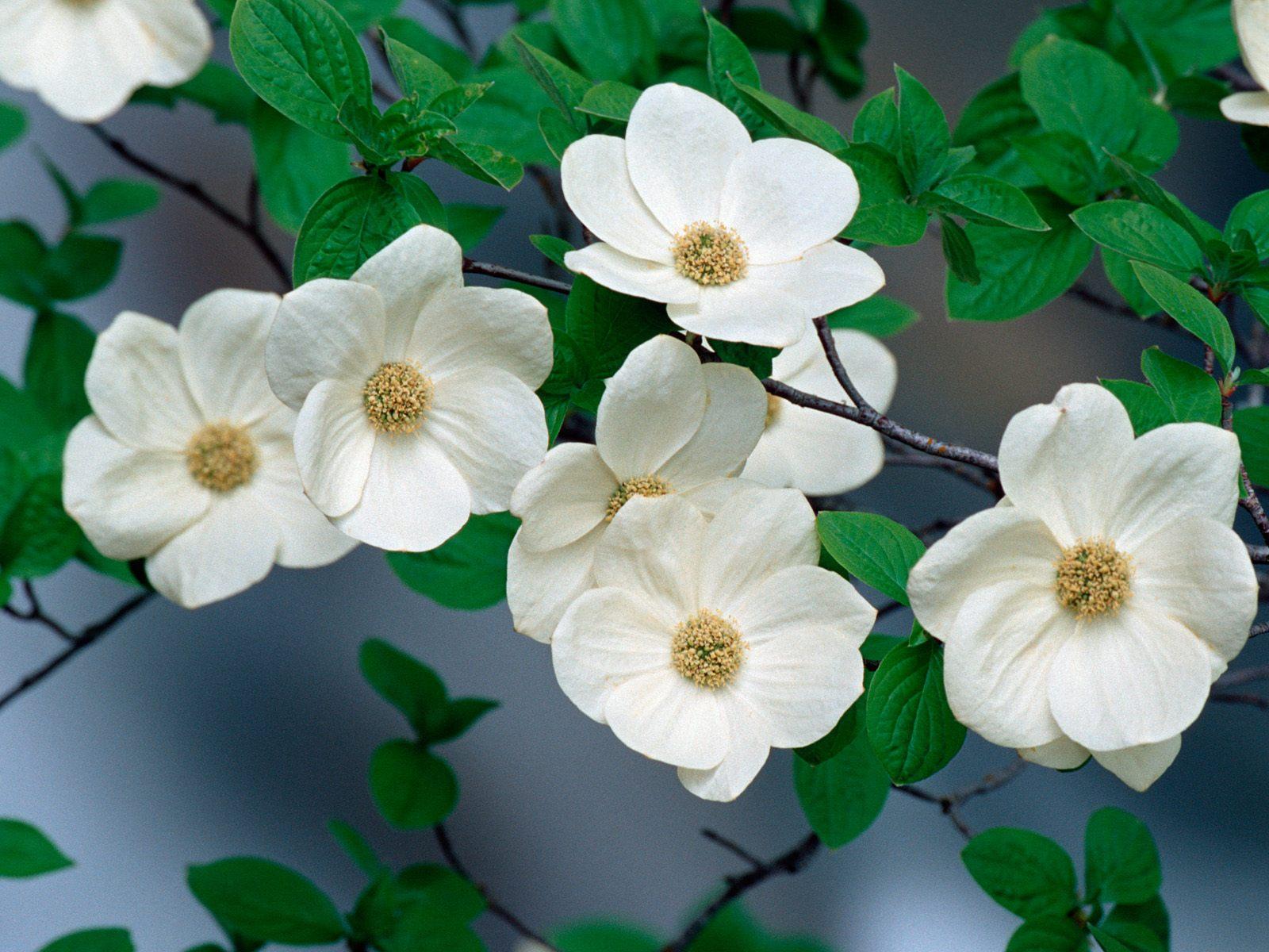 dogwood flowers 37251
