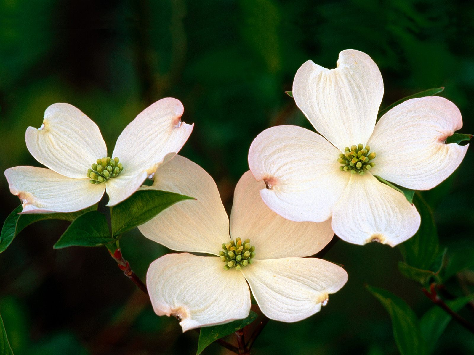 dogwood flowers picture 37241