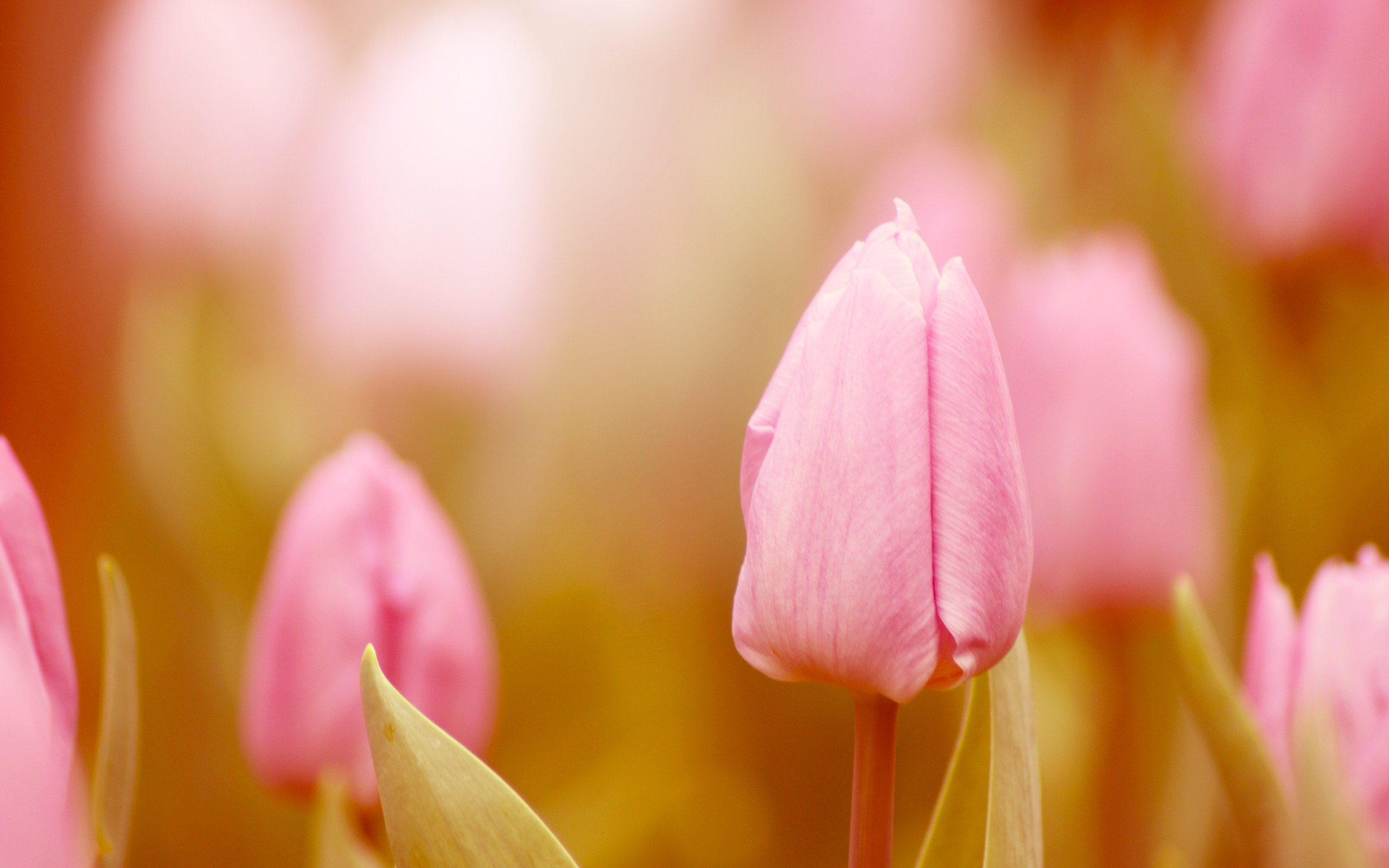 fantastic pink macro wallpaper 37853