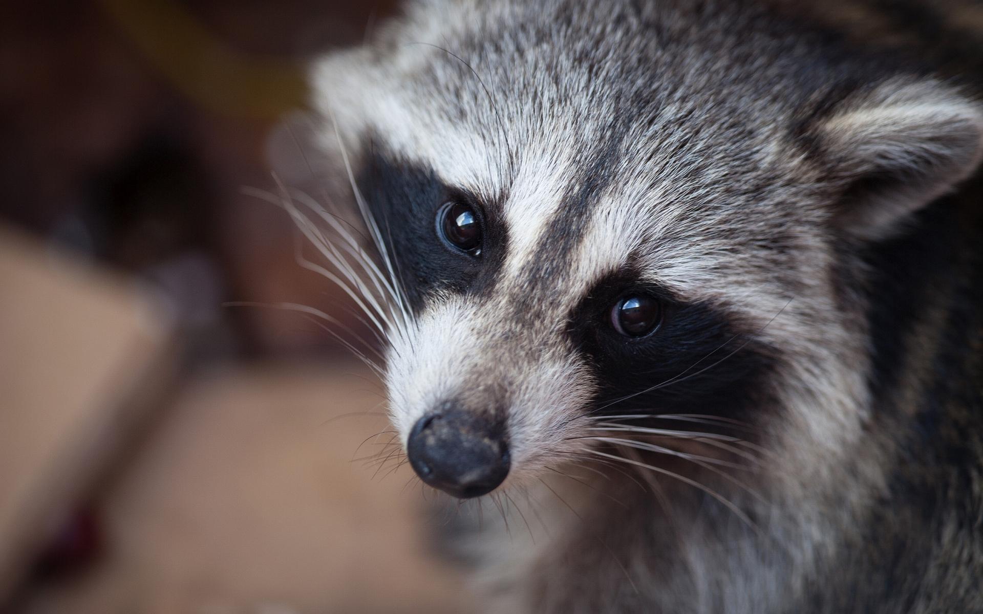 fantastic raccoon wallpaper 43653