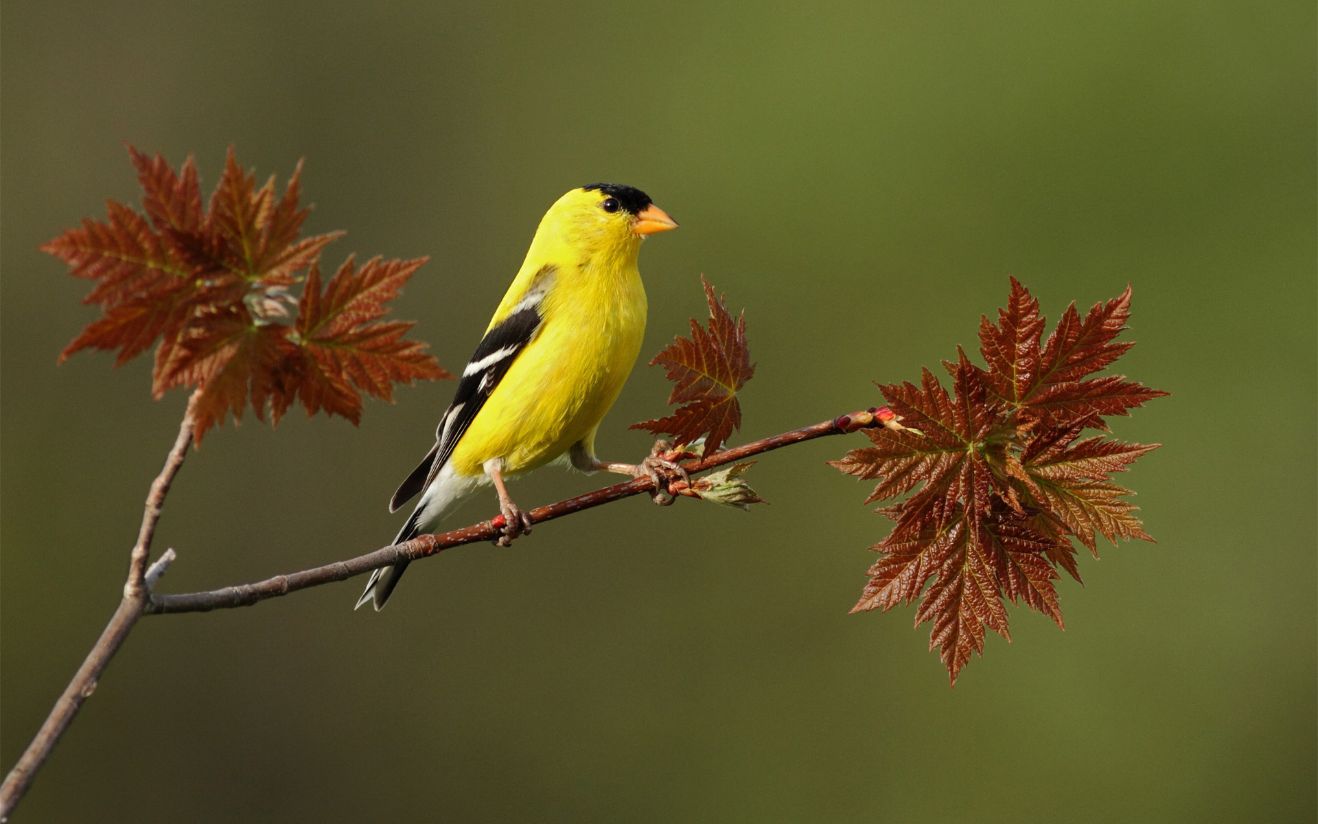 fantastic yellow bird wallpaper 40088