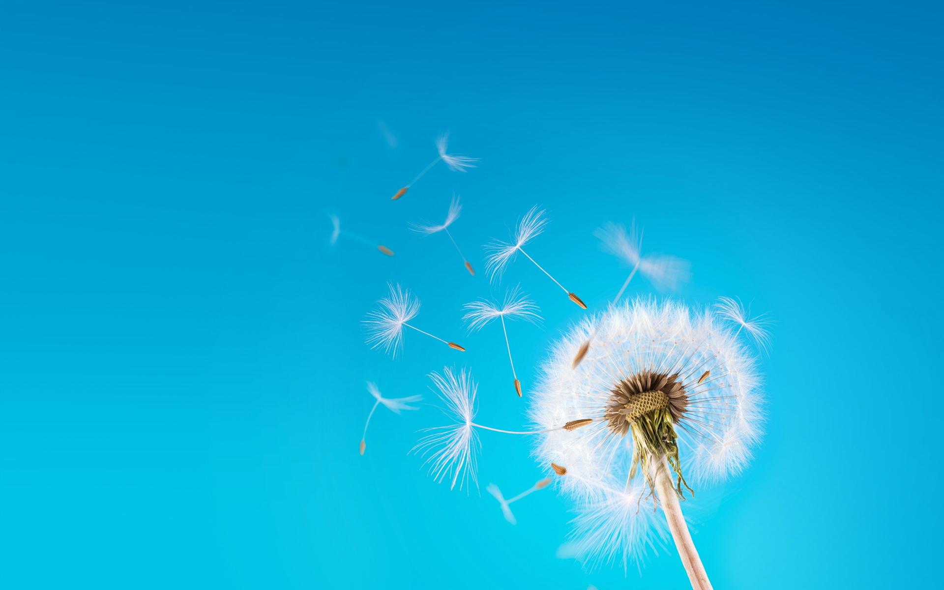 flying dandelion seeds wallpaper 42644