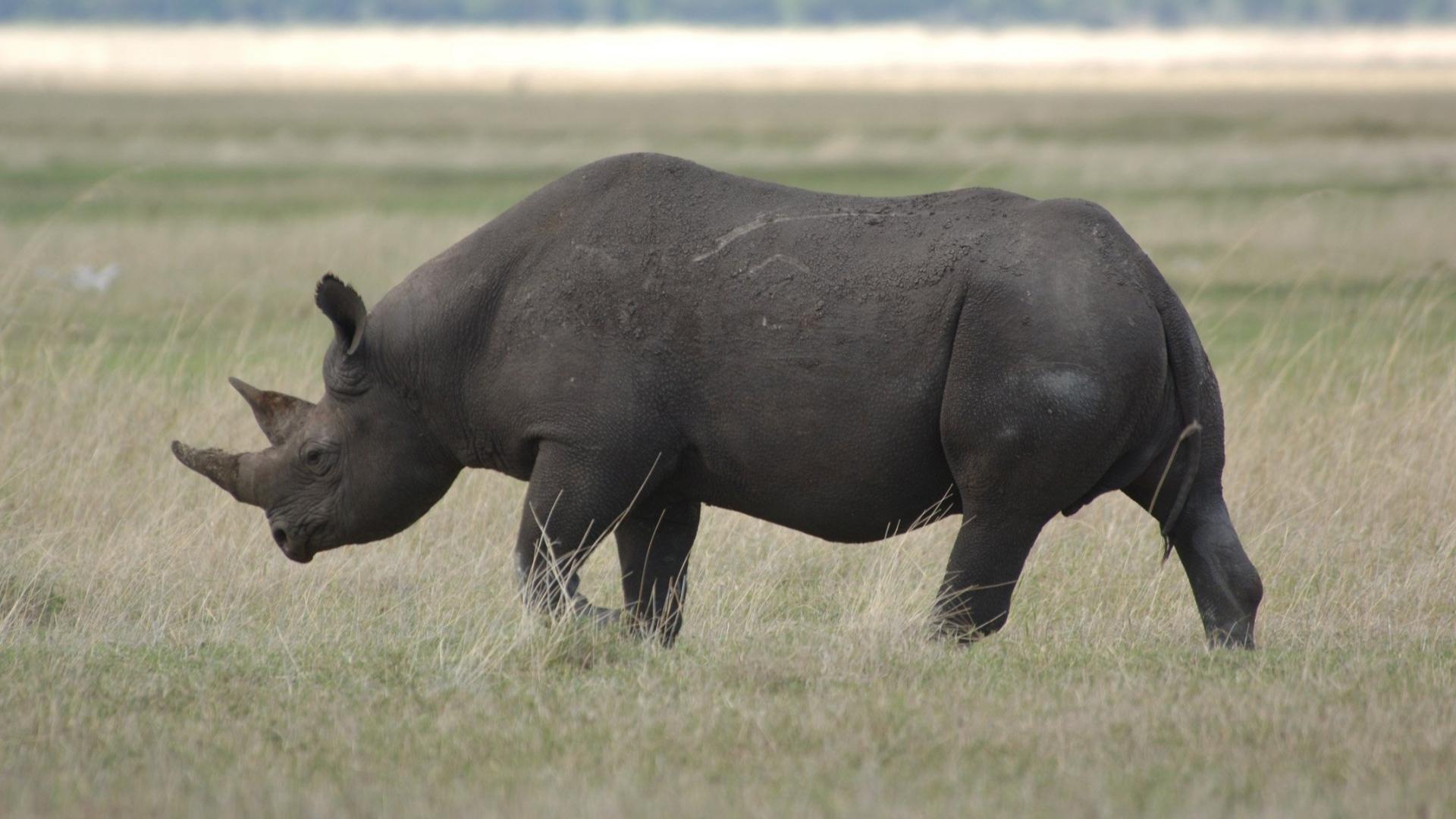 free rhinoceros wallpaper 43097