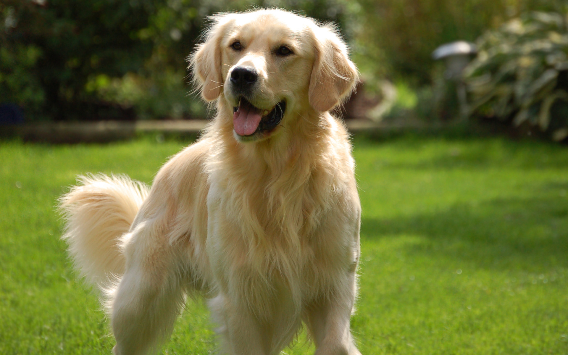 golden retriever wallpaper 4530