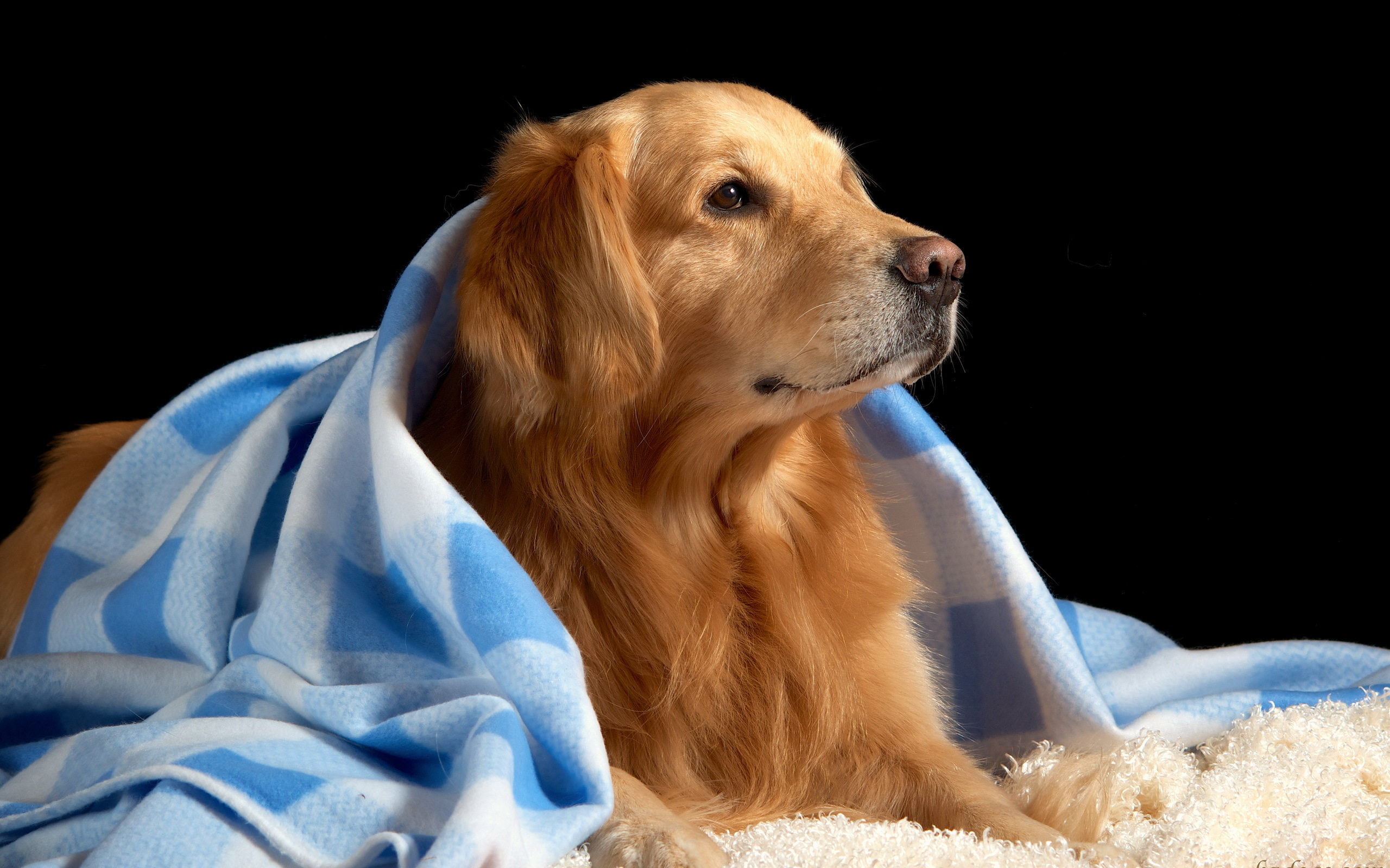 golden retriever wallpaper 4531