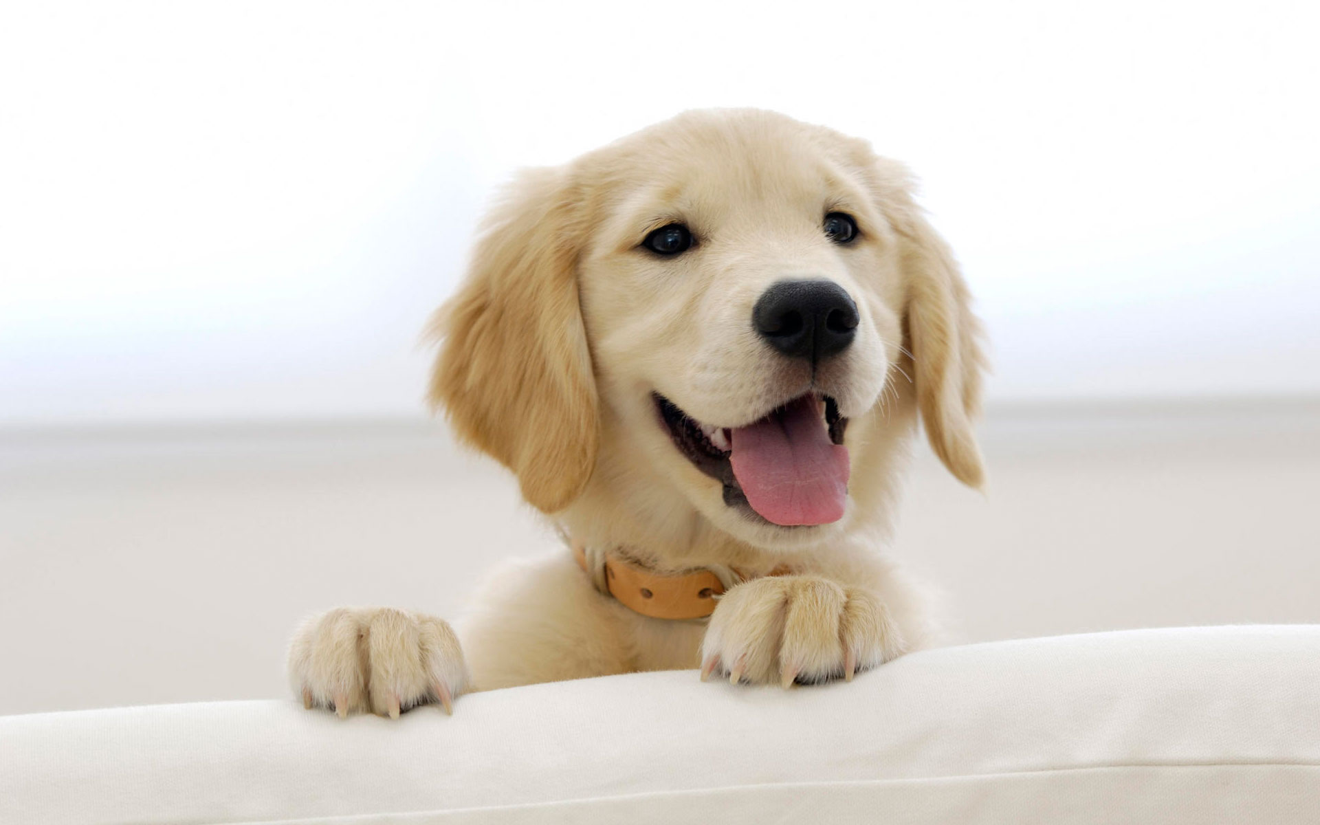 golden retriever wallpaper 4532
