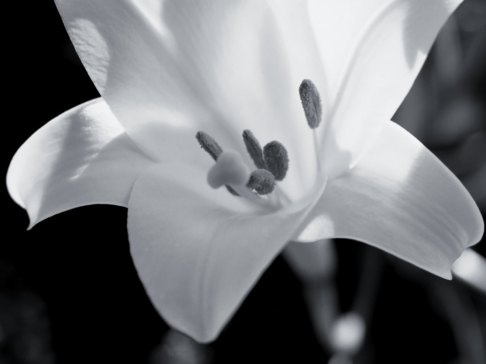 lily flowers 30782