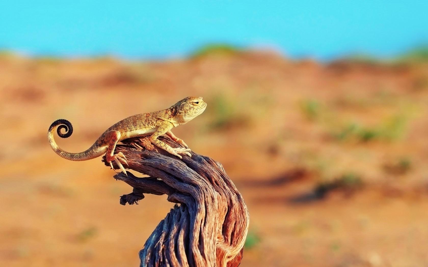 Lizard on Tree Stump Wallpaper 43763 1680x1050 px HDWallSourcecom