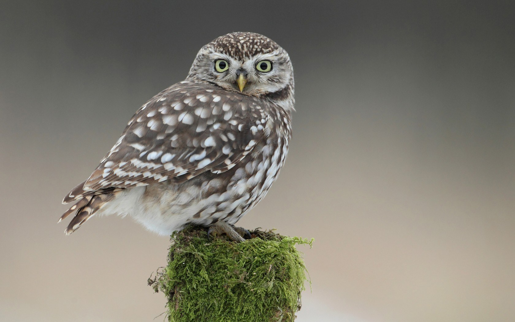 owl bird on tree stump wallpaper 43765