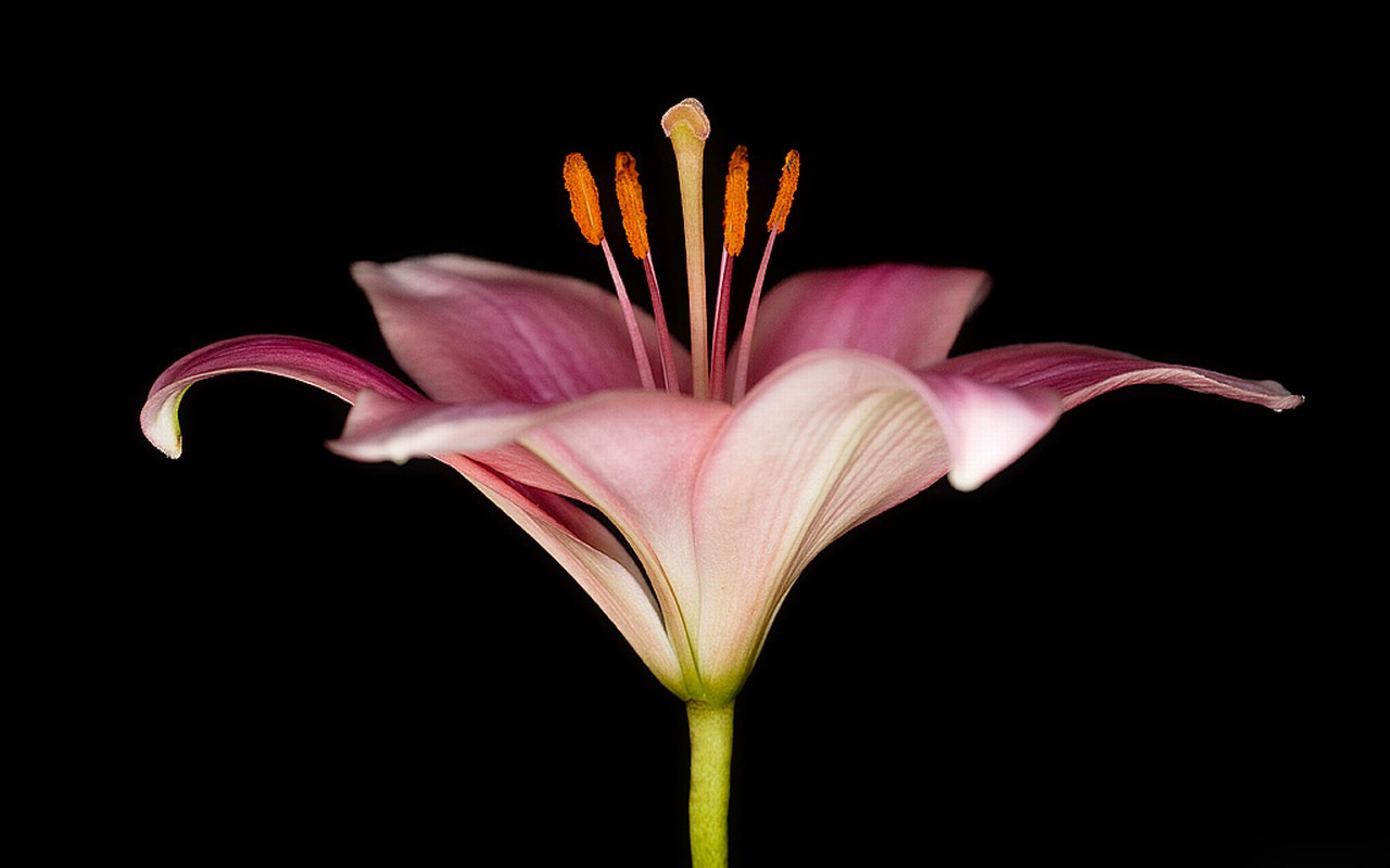 pink lily flowers 30788
