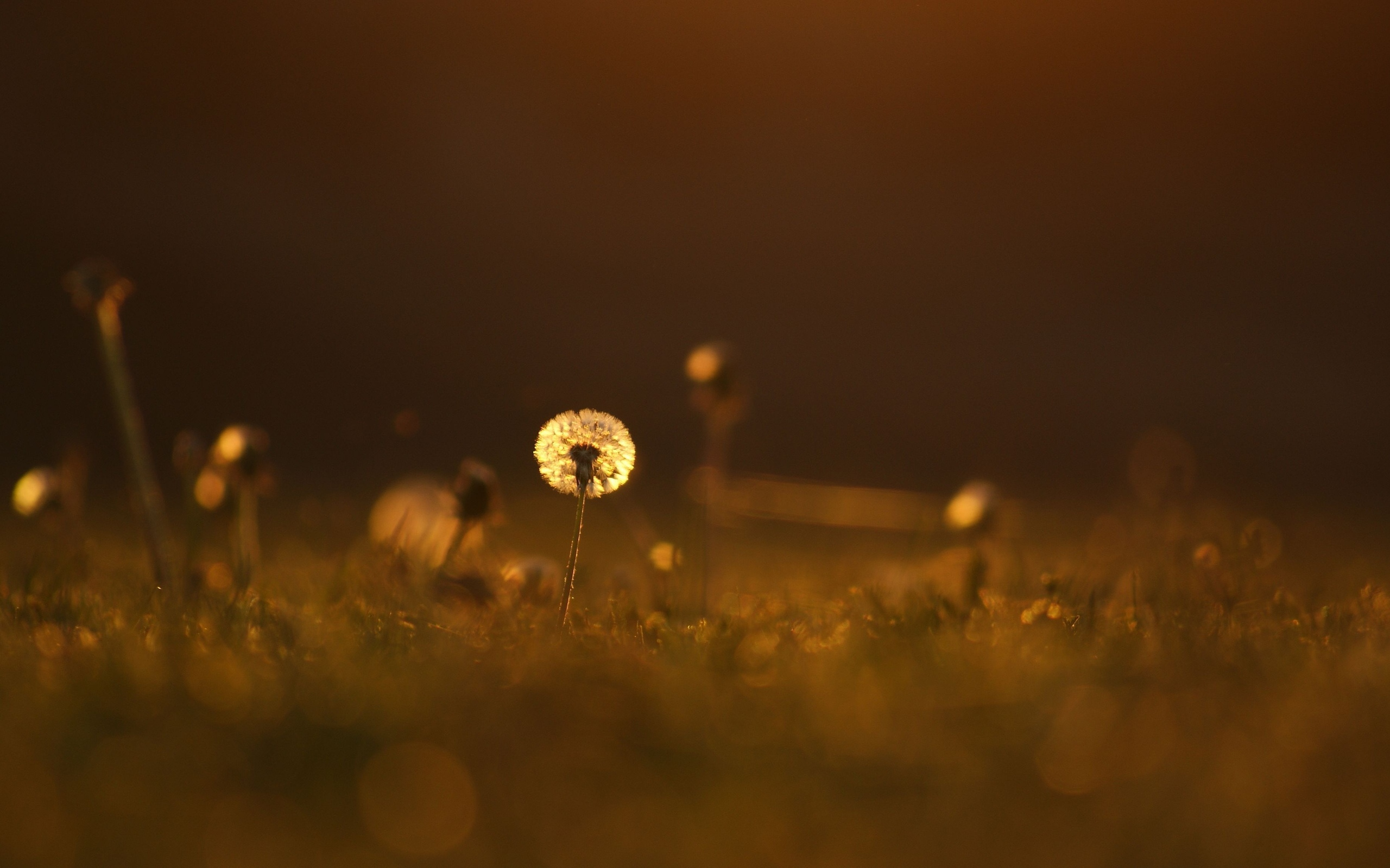 pretty dandelion flowers mood wallpaper 43967