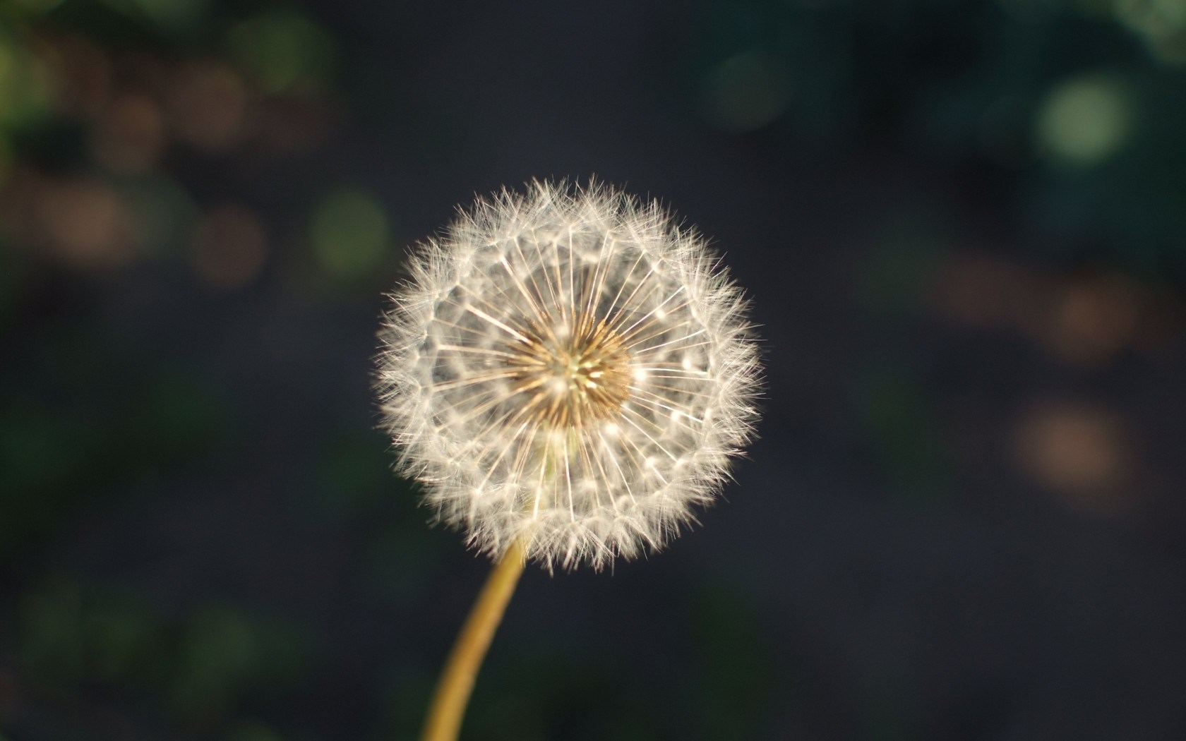 pretty dandelion seeds wallpaper 42640