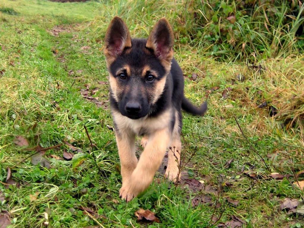 puppies 25162