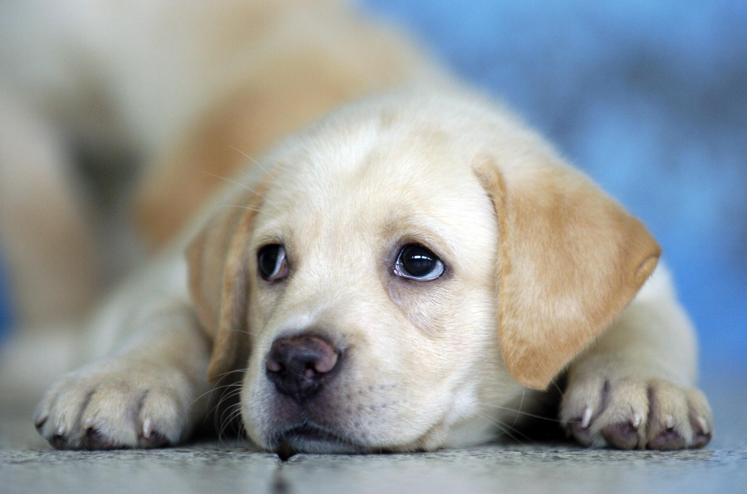 Puppy Wallpaper 25157 2464x1632px