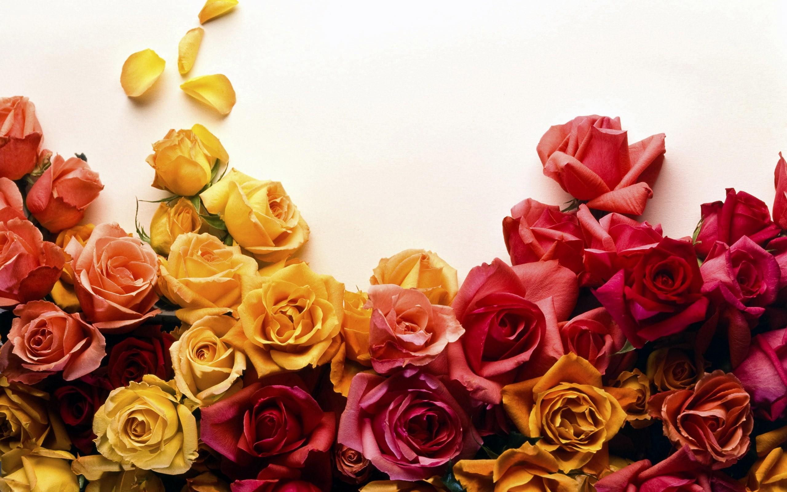 roses wallpaper 26111
