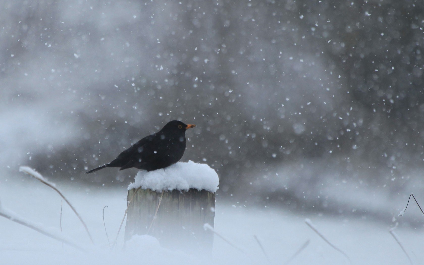 crow in snow wallpapers hd - photo #1