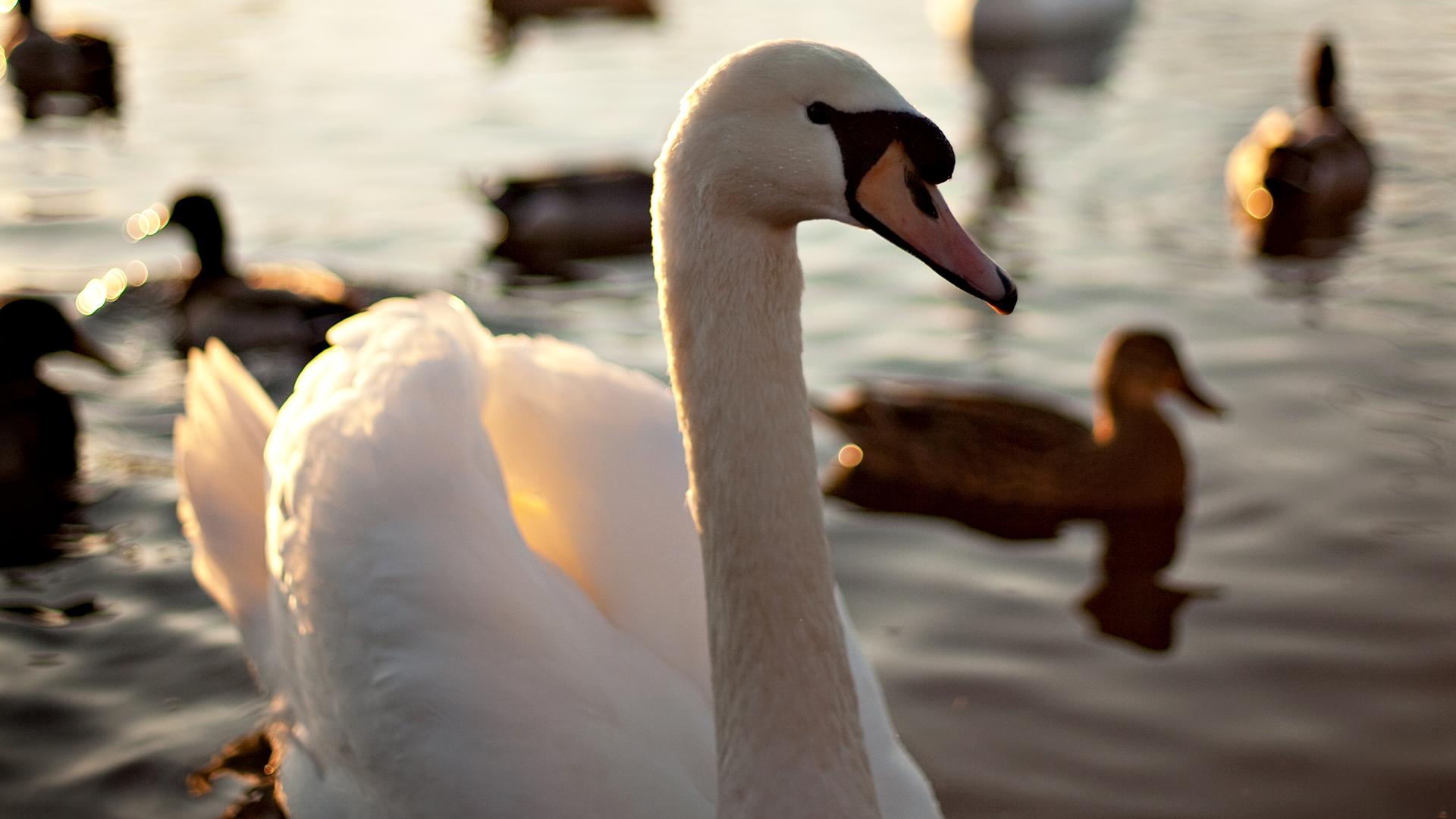 swan wallpaper 28060