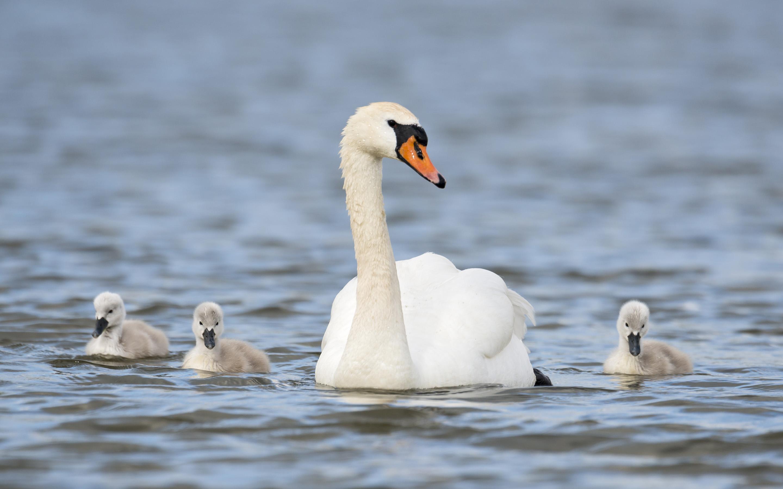 swans 28062