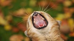 Animal Yawn Wallpaper 40112