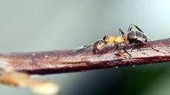 Ant Wallpaper HD 44255
